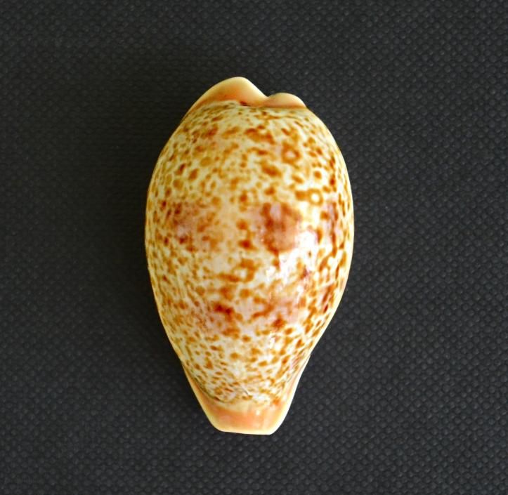 achatidea