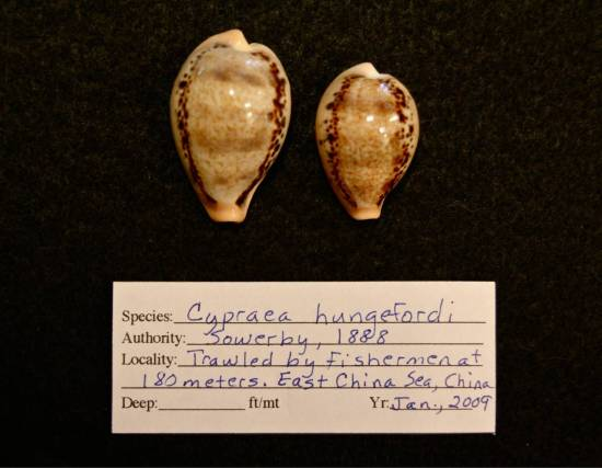 #41 two Cypraea hungerfordi