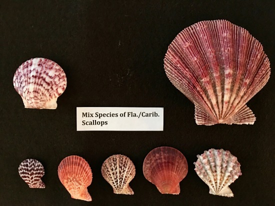 mixed species of florida caribbean scallops